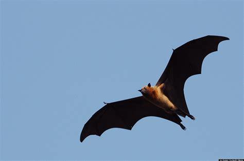 bat health critical to human health huffpost