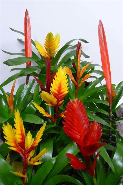 Beliebte Zimmerpflanzen Bilder Bromeliad Vriesea Houseplants Pinterest Perennials