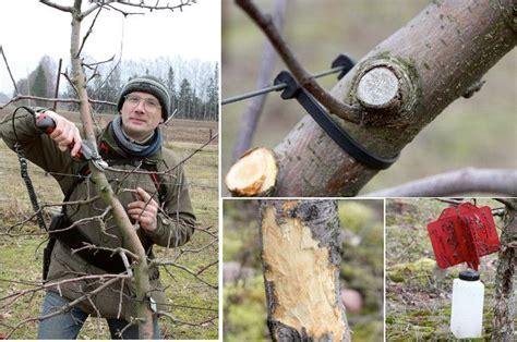 FOTO: Kā veidot augļu koku vainagus