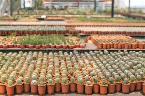 Cactus Garden In Thailand Is A New Species Stock Photo ...