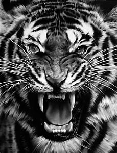 Black And White Tiger Roaring | www.pixshark.com - Images ...