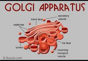 Golgi Apparatus Drawing At Paintingvalley Com