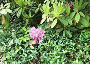 Rhododendron Blüht Nicht : vinca minor immergr n bodendecker unterpflanzung von rhododendron ~ Frokenaadalensverden.com Haus und Dekorationen