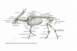 Eland Skeleton Via Terryl Whitlatch