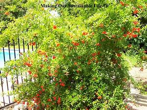 Choosing Pomegranate Trees | Making Our Sustainable Life