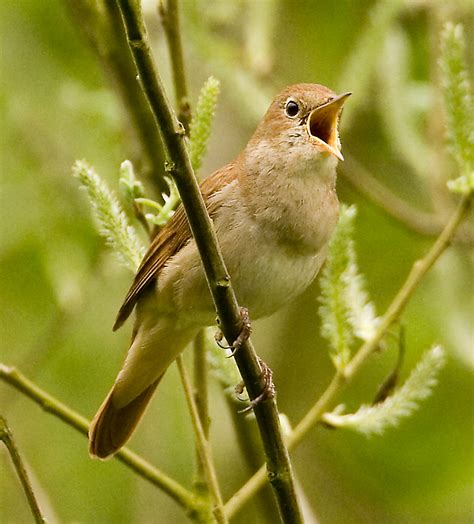 nightingale animal wildlife