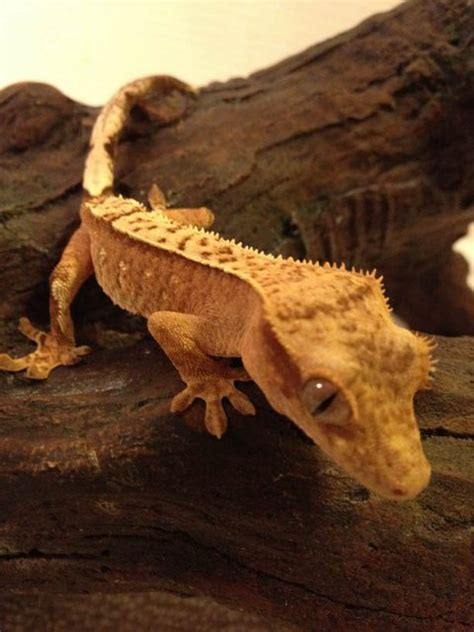 Crested Gecko Shed Box by Crested Gecko Care Page 187