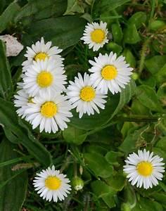 Daisy | NatureS... Daisy