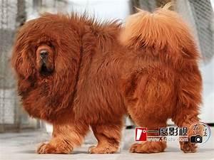 Tibetan Mastiff Puppy | Fuzzy Today