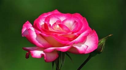 Flower Flowers Wallpapers Roses Desktop Most Rose