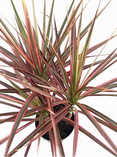 Colorama Dracaena Marginata Tree Dragon Madagascar Plant