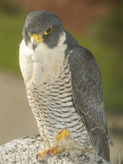 A Nebraska Peregrine Falcon appears in Texas ...
