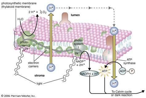 Photosynthesis -- Kids Encyclopedia