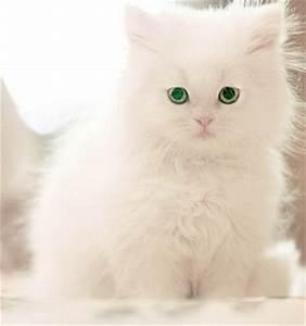 Kittens, White kittens and Cats on Pinterest