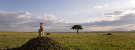 african savanna cats wild animals facts habitats africa cheetah panorama disappearing backdrop save movie kunjungi quickly