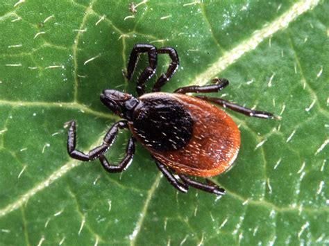Image result for blacklegged tick