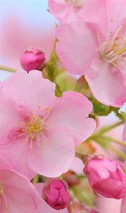Wallpaper Beautiful pink cherry flowers, blurry, spring ...