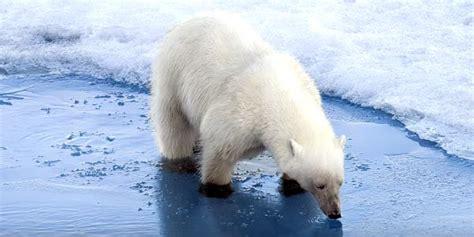 si鑒e habitat strage di foche nell 39 artico colpa caldo estremo profy giac