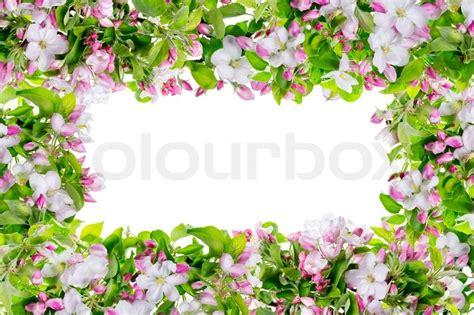 fruehling rosa apfel baum blumen rahmen stockfoto colourbox