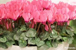 Cyclamen, Cyclamen persicum – How to grow and care