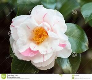 Fleur Rose Et Blanche : fleur blanche et rose du cognassier du japon de cam lia 39 tricolore 39 photo stock image 45169358 ~ Dallasstarsshop.com Idées de Décoration