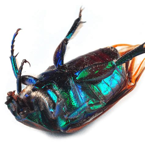 how to get rid of june beetles image gallery june bug infestation