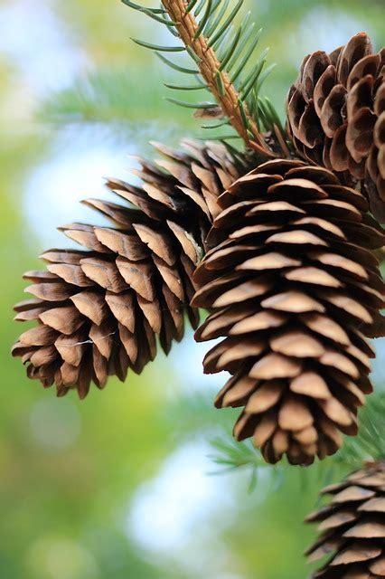 photo pinecones pine pinecone fall  image