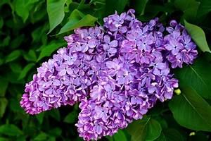 Pflanzen Im Mai : flieder im mai foto bild pflanzen pilze flechten str ucher natur bilder auf fotocommunity ~ Buech-reservation.com Haus und Dekorationen