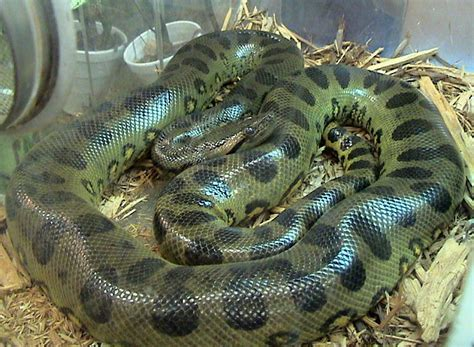 how do pythons live animals unique giant snakes live near rivers
