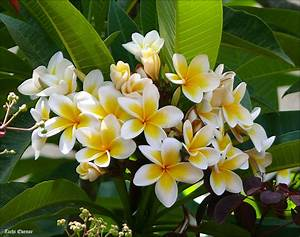 Plumeria rubra Images - Useful Tropical Plants