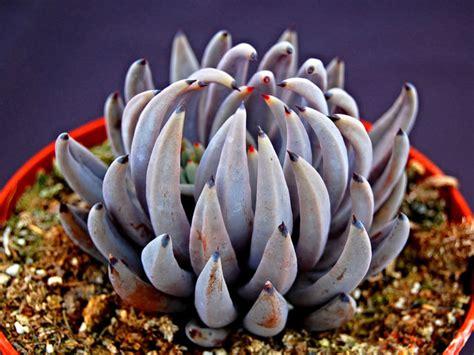 Echeveria unguiculata | World of Succulents