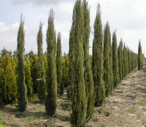 cupressus sempervirens monshel cupressus sempervirens glauca conifer italian cypress pencil pine blerick trees plant