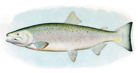 bureau of labour file coho salmon jpg wikimedia commons