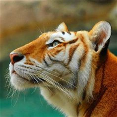 Images About Animals Pinterest White Tigers