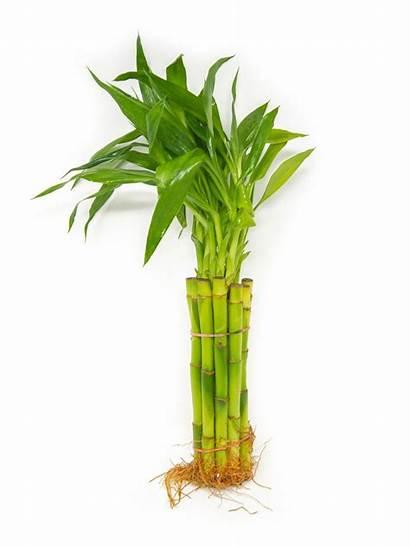 Bamboo Lucky Plant Dracaena Sanderiana Stalk Straight