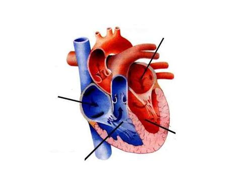 Veins carry blood toward the heart. Label the Heart and Blood Vessels!