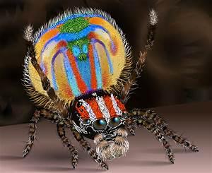 File:Male peacock spider2.svg - Wikipedia