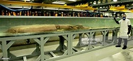 A giant squid measuring 8.62m is displayed at the Natural ...