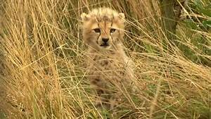 baby cheetah cubs weneedfun