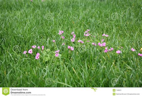 flowering grasses with pink flowers green grass with pink flowers stock image image 748301