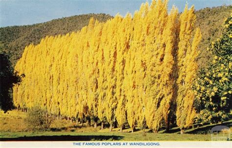 The famous poplars at Wandiligong | Victorian Places