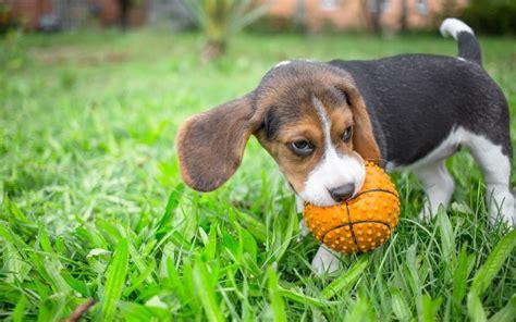 beagle beschaeftigen tipps fuer die beagle beschaeftigung