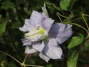 Clematis Pflanzen Kübel : clematis 39 mazury 39 clematis 39 mazury 39 baumschule horstmann ~ Orissabook.com Haus und Dekorationen