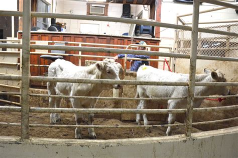 texas livestock auction agrilife today markets sold calves cattle local activities service extension nov weather crop continue across fall fannin