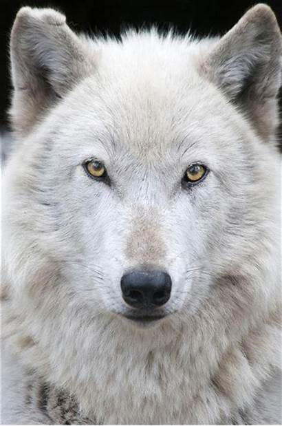 Wolf Wolves Gray Male Grey Lonnie Julie