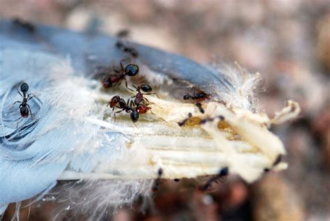 why do ants collect feathers wild about ants
