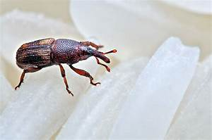 11 Fast Home Remedies To Get Rid Of Weevils