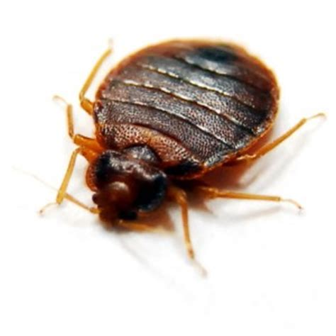 bed bugs flat see pictures of bed bugs they could already be sleeping
