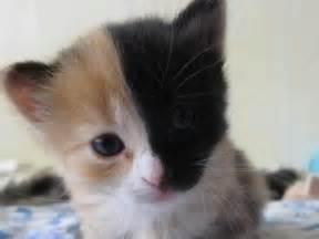 craziest cat more chimera cats and