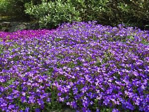 Pflanzen Pflegeleicht Garten : blaukissen pflanzen und pflegen tipps gartenpflanzen ~ Lizthompson.info Haus und Dekorationen